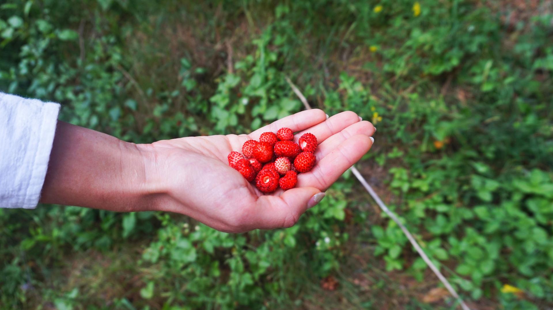 sway the way picking wild strawberries